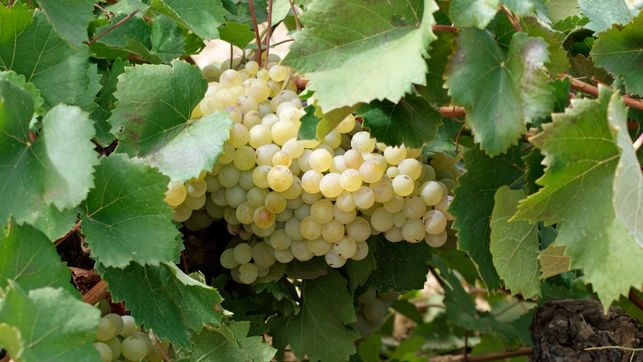 Vino blanco La Mancha